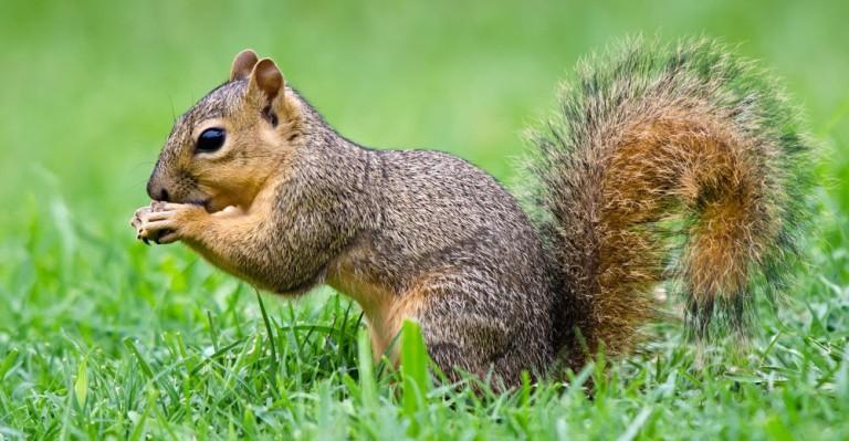 Fox-squirrel-2-1000x520.jpg